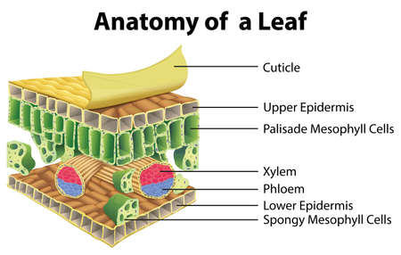Diagram showing anatomy of a leaf illustration
