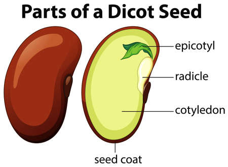 Diagram showing parts of dicot seed on white background illustration