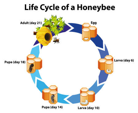Diagram showing life cycle of honeybee illustration