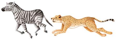 Cheetah chasing after zebra on white background illustration Vettoriali