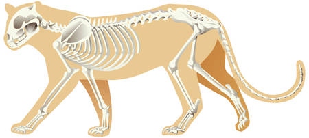 Skeleton of leopard on white background illustration