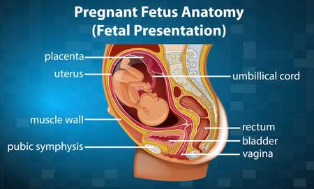 Pregnant fetus anatomy diagram illustration
