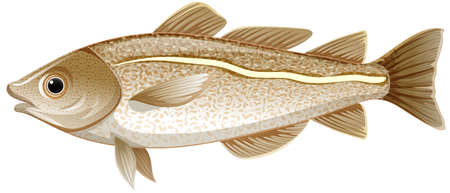 Isolated cod fish on white background illustration
