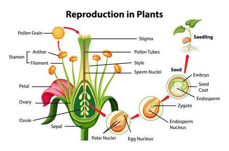Reproduction in plants diagram illustration