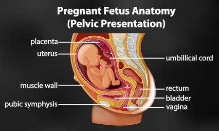 Pregnant fetus anatomy diagram illustration 向量圖像