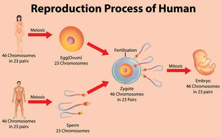 Reproductive process of human illustration