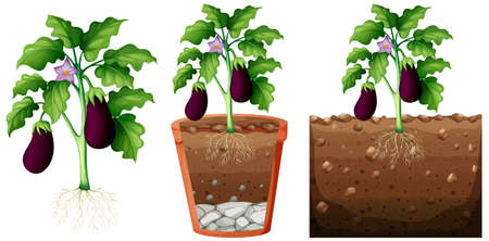 Set of eggplant plant with roots isolated on white background illustration