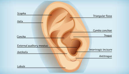 Anatomy of external ear illustration
