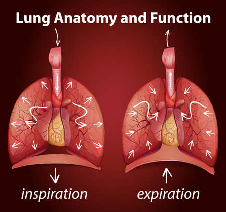 Lung anatomy and functions for education illustration
