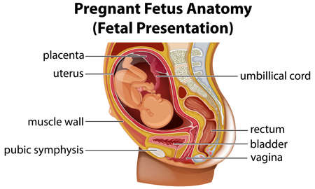 Pregnant fetus anatomy diagram illustration Ilustracja