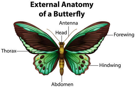 External Anatomy of a Butterfly on white background illustration