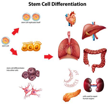 Stem cell differentiation diagram illustration Vector Illustration