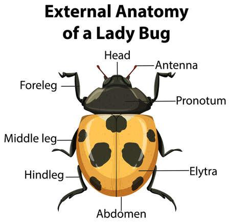External Anatomy of a ladybug on white background illustration