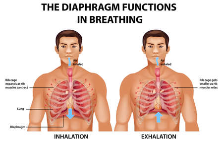 The diaphragm functions in breathing illustration
