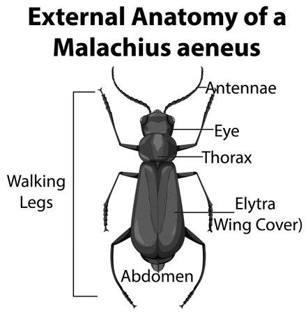 External Anatomy of a Malachius aeneus on white background illustration