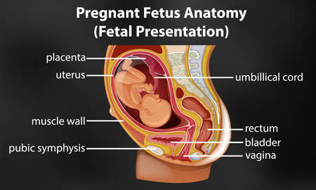 Pregnant fetus anatomy diagram illustration Illustration