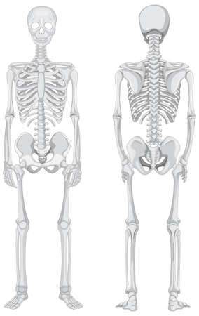Front and back views of skeleton isolated on white background illustration Ilustração