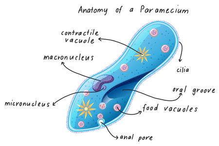 Anatomy of a Paramecium illustration