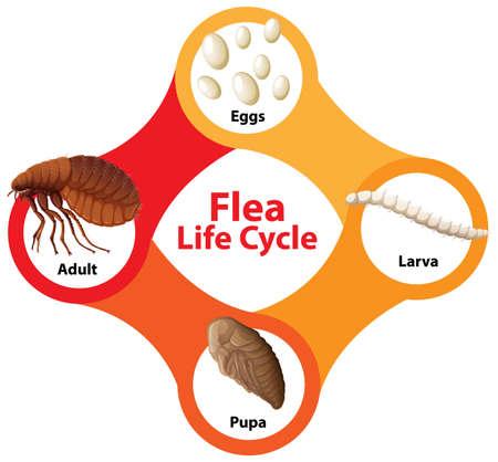 Flea Life Cycle Diagram illustration Ilustración de vector