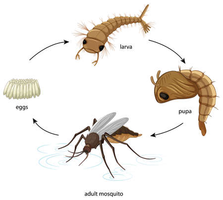 Diagram showing mosquito life cycle on white background illustration