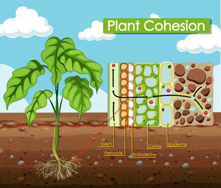 Diagram showing Plant Cohesion illustration Vektorgrafik
