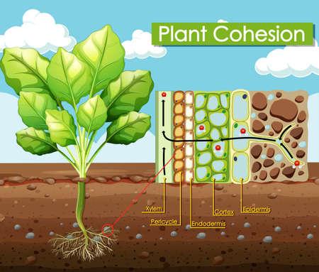Diagram showing Plant Cohesion illustration