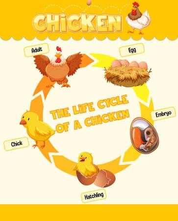 Diagram showing life cycle of Chicken illustration Векторная Иллюстрация