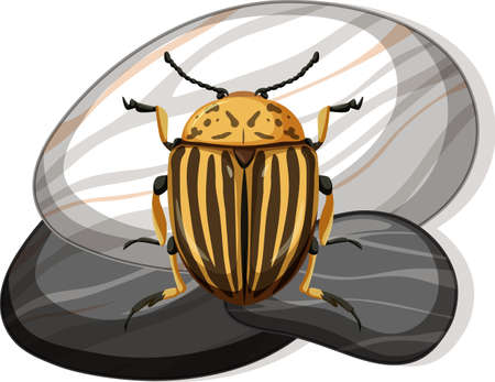 Top view of colorado beetle on a stone on white background illustration