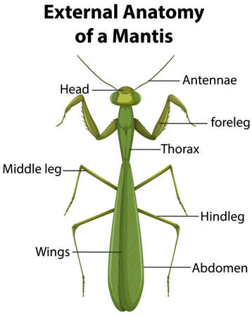 External Anatomy of a Mantis on white background illustration