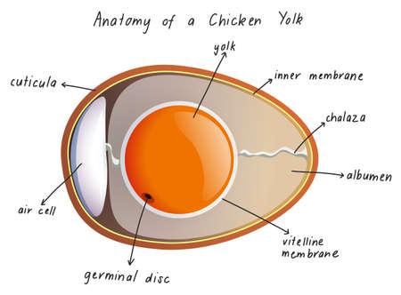 Anatomy of a Chicken Yolk illustration