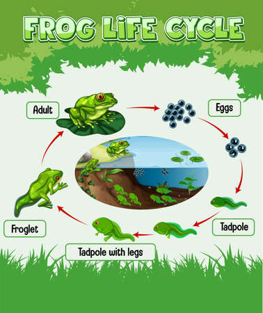 Diagram showing life cycle of Frog illustration
