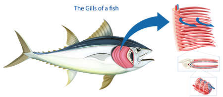 Diagram showing the grills of a fish illustration