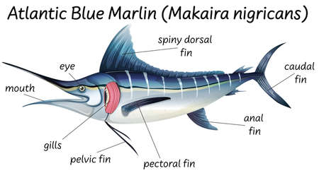 Science internal anatomy of fish illustration Vektorgrafik