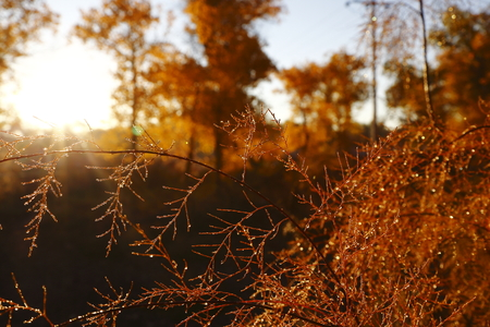 liu: Hong Liu Cong, autumn Sunrise