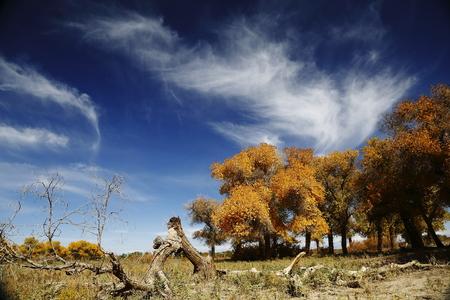 inner mongolia: Inner Mongolia Populus euphratica forest