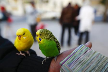 fortunetelling: Fortune-telling parrots
