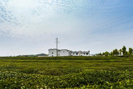 Jiangxi Shangrao Wuyuan Tea Garden