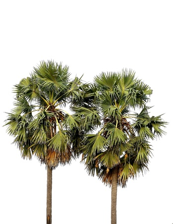Two borassus flabellifer trees, Toddy palm, Sugar palm photo
