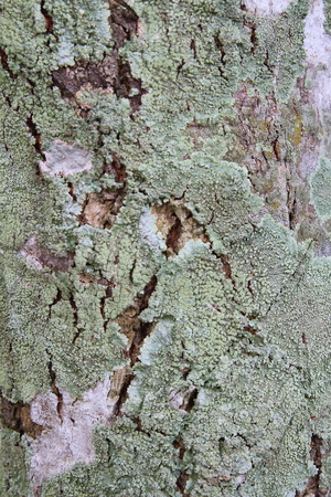 splotchy: Green lichens growing on tree bark Stock Photo