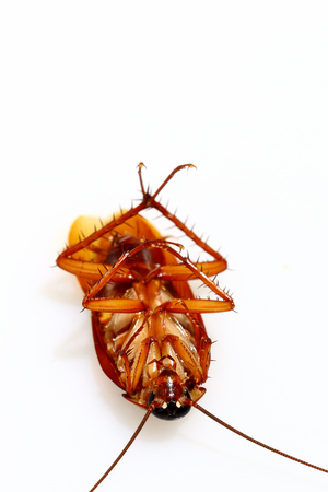 hairy back: Dead cockroach on white background