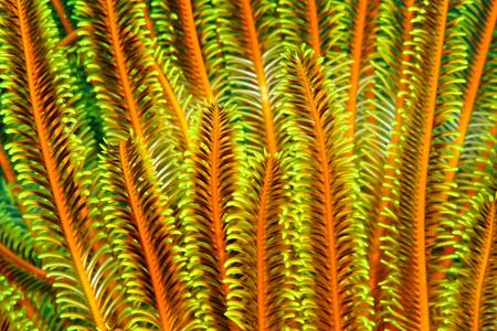 Yellow orange sea lilly Stock Photo