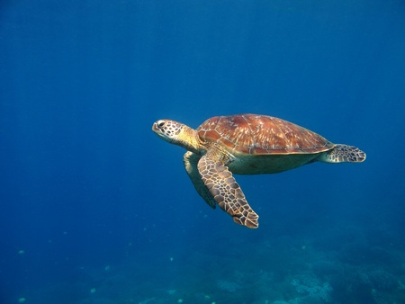 Green sea turtle swimming in deep blue sea with sun rays. Tropical coral reef with small fish in distance background. Colorful red and yellow turtle shell.
