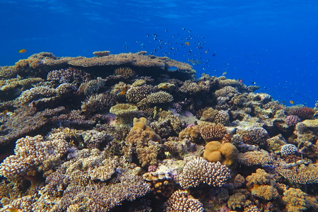 Colorful beautiful healthy tropical reef in the blue sea. Different shapes and sizes of pink, yellow, purple and beige corals with various tropical fish around.