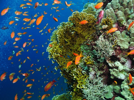 Beautiful orange, red and purple tropical fish on the living colorful underwater coral reef. Deep blue background. Swimming tropical fish and corals. Bubbles in the blue water.