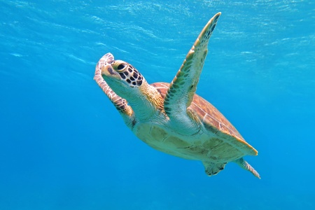 Green sea turtle swimming in the ocean, looking into the camera. Colorful turtle shell, head, fins and eye. Brigh blue water background. Happy turtle in the sea.