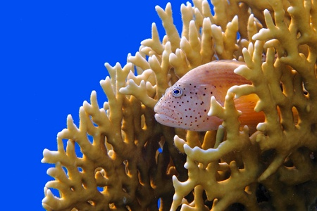 Hawkfish sitting in the yellow coral reef with the deep blue ocean water in the background. Hawkfish in the righ, blue water background in the left, yellow coral around.