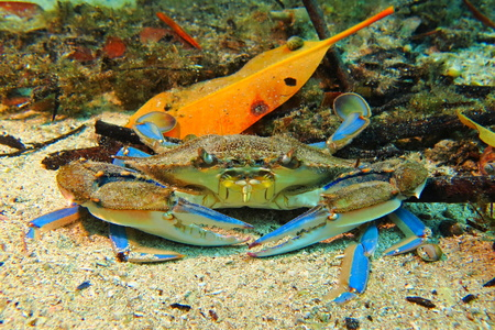 Blue big sitting sea crab with sandy bottom and orange leave behind. Blue yellow claws waiting for the prey. Sea creature on the sand. Colorful underwater cenote scenery.