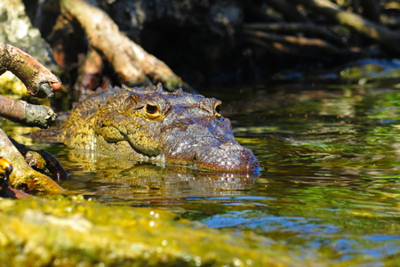 Big crocodile in the fresh water, waiting for prey. Branches and tree in the background, water around the animal.Big crocodile eyes, nose, mouth and detail of skin.