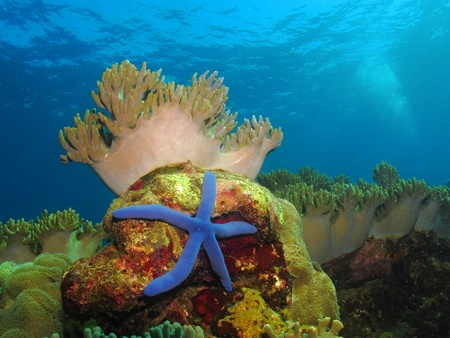 Wide scene yellow brown coral reef with big blue sea star (starfish). Blue green water background with bubbles of air and waves on surface. Tranquility and beautiful tropical reef underwater scenery. 免版税图像