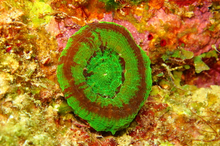 Bright green big anemone on the colorful tropical coral reef. Vivid colors of aquatic life on the coral reef. Artichoke fleshy coral also known as solitary disk coral.